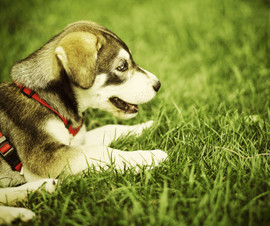 husky_pup